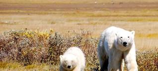 Öko-Lodge in Kanada: Reich mir die Tatze, Eisbär - SPIEGEL ONLINE