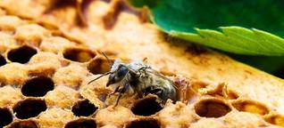 Neonicotinoide - Insektengift-Moratorium in der Kritik