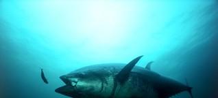 Deepwater Horizon: Rohöl löst Herzversagen bei Thunfischen aus | SPIEGEL ONLINE