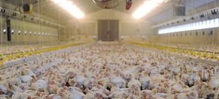 Vorwürfe gegen Geflügelfirma Wiesenhof - Qualen auf dem Hühnerhof
