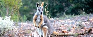 Unterwegs zum Gelbfuß-Felskänguru