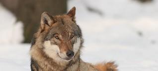 Schweden kämpft um die Wolfsjagd