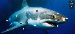 Die erstaunlichsten Fakten über Weiße Haie als interaktives Bild