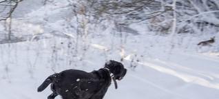Labrador jagt Feldhasen von Ingo Gerlach