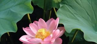 Das Geheimnis der Lotosblume