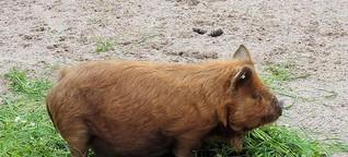 Ein Schweineleben für die Intelligenzforschung