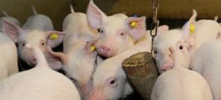 """Kritik an der """"Initiative Tierwohl"""": Tierschützer sprechen von Betrug"""