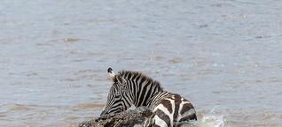 Krokodile: Vier Krokodile killen ein Zebra im reißenden Mara Fluss