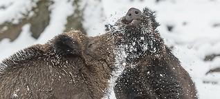 Kampf der Wildschwein-Keiler. Ein Bericht mit Fotos von Ingo Gerlach. 21. November 2016.