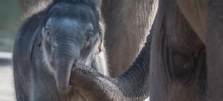 Elefantennachwuchs im Kölner Zoo. Extremer Niedlichkeitsfaktor.