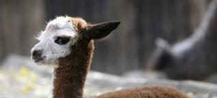 Alpakas sind nicht ganz harmlos