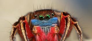 Wie Spinnen mit Farben prahlen