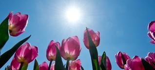 Warum Sie besser Tulpen schenken