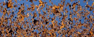Es flattern wieder mehr Monarchfalter durch Mexiko