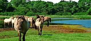 Wildpferde an der Ostsee: Füttern verboten