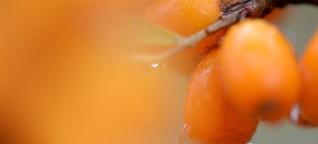 Vitamine C und B12: Warum Sanddorn so gesund für Veganer ist
