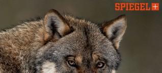 Die AfD und das Märchen vom bösen Wolf