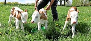 Seltener Nachwuchs: Kuh bringt Drillinge zur Welt