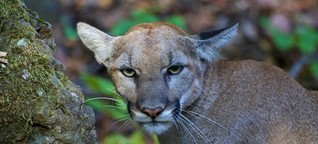 Mountain lions, from your LA backyard to extinction?