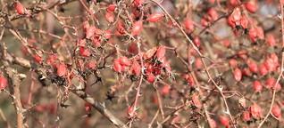 Ungezogene Früchtchen: Wildobst ist robust, ökologisch, gesund, lecker.