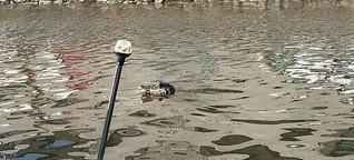 Das Sommerlochkrokodil aus der Weser