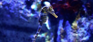 So cute, so bizarre: Seahorses