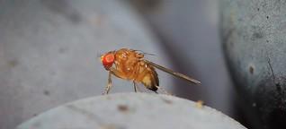 Schädling aus Asien bedroht Ernten: Die gemeine Kirschessigfliege