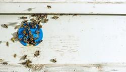 """Vom """"Gesang"""" der Bienen"""