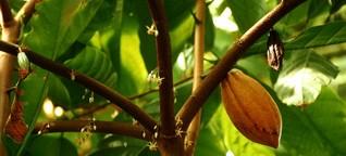 De cacao y chocolate: reviviendo una tradición en Panamá | DW | 07.02.2020