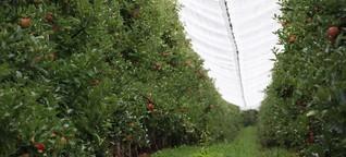 Startschuss für die Obstbauern: Am Montag beginnt vielerorts die Apfelernte