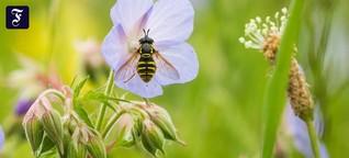 Minus 75 Prozent seit 1990: Insektensterben, na - wer weiß?