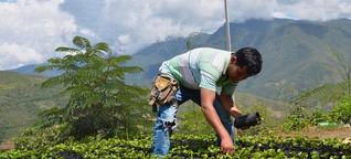 Bolivien: Die heilige Pflanze verliert ihre Unantastbarkeit