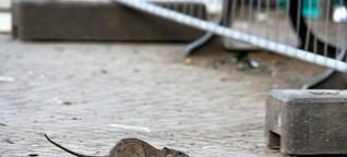 Tönnies-Fleisch: Ratten lebten in Kühlhaus in Niedersachsen