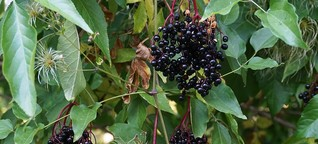 Rezepte für den Herbst: Das kann Holunder