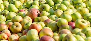Apfelwein mit Tradition: Nur Äpfel von Privatleuten