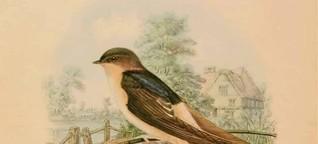 Die Schwalbe und andere Vögel