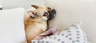 Frenchie: Ihr Traum-Hund?