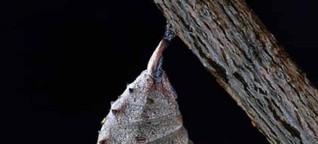 Der Schmetterlingskokon - Parabel