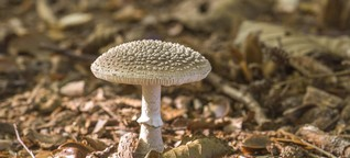 Pilze sammeln: Vorsicht, giftiger Doppelgänger!