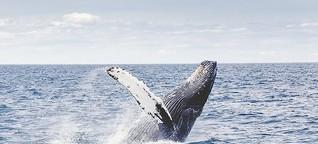 Gärtner der Meere: Wale sind gigantische Klimaschützer | BR.de radioMikro