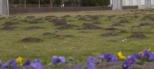 Maulwürfe: Leben mit den Hügelgräbern?