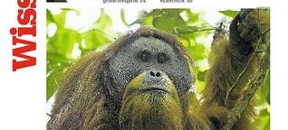 Kaum entdeckt, so gut wie ausgestorben – die Tapanuli-Orang-Utans