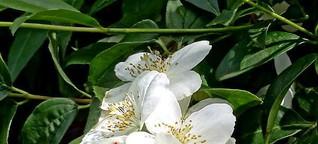✿ Bäume und Sträucher blühen im Mai und Juni - ihr Duft parfümiert die Straße [1]