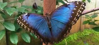 Costa Rica - Im Schmetterlingsgarten von San Ramón