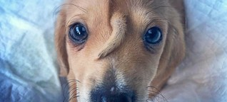 Einhorn-Hund verzaubert das Netz: Schwanz wächst aus Stirn