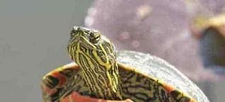 Haselhuhn und Schildkröte