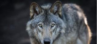Wie verhält man sich richtig, wenn man einem Wolf begegnet?